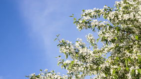 White flowers - tree blossom in spring stock video footage