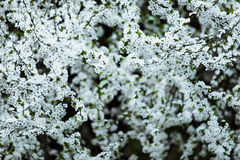 White flowers of a tree in blossom Royalty Free Stock Image