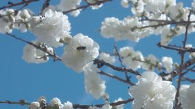 White flowers on tree on blue sky with bees. In spring park stock video