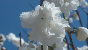 White flowers on tree on blue sky with bees. In spring park stock video footage