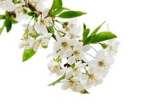 White flowers on the tree branch Stock Photography