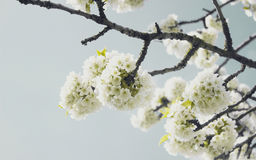 White flowers on tree branches Royalty Free Stock Photo