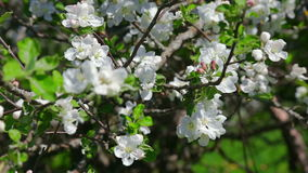 White flowers on tree branches. Apple tree is shot during blossom season in summer. This close-up is taken in Estonia, near Tallinn stock footage