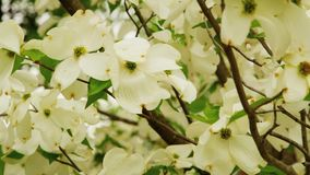 White flowers on tree in breeze. Video of white flowers on tree in breeze stock video