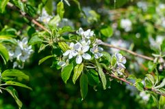 White flowers on tree. In Canada Stock Photography