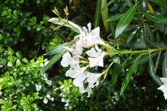 White_flowers_ tree Royalty Free Stock Photo