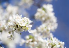 White flowers on a tree Stock Images