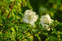 White flowers on a tree in the park stock photography