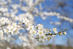 White flowers on the tree. White flowers on a tree in spring Stock Photo