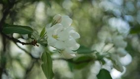 White flowers on a tree in Spring Park. Apple orchard. Spring sunny day. Spring, a sunny day, a flourishing garden. White-pink flowers on an apple tree at the stock video