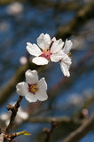 White flowers of tree Stock Image