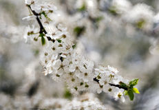 White flowers of tree Royalty Free Stock Images
