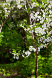 White flowers on tree in spring Stock Photography