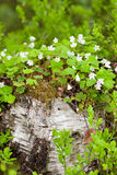 White flowers on a tree stump Royalty Free Stock Photography