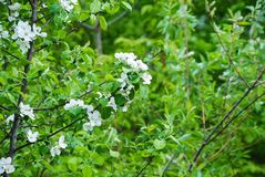 White flowers on a tree stock image