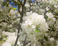 White flowers on a tree with tiny seeds in the middle. The sun is shining on a group of white flowers on a tree.  The center of the flower holds tiny white Royalty Free Stock Photos
