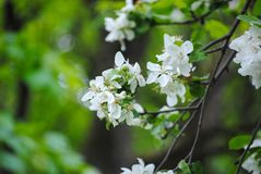 White flowers on a tree vector illustration
