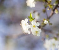White flowers on a tree Stock Photos