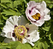 White flowers of treelike peony Royalty Free Stock Image