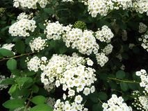 White flowers on trees in the Park. In summer, the city Park is fragrant with the flowering of various plants stock photo