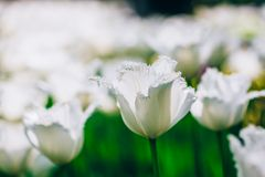 White Flowers Tulip In Spring Garden Royalty Free Stock Images