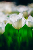 White Flowers Tulip In Spring Garden Stock Photos