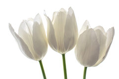 White flowers tulips. White spring flowers, tulips on white background Royalty Free Stock Photography