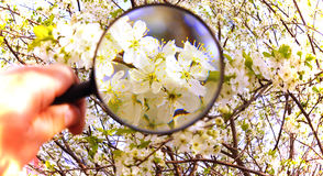 White flowers under magnifying glass Royalty Free Stock Images