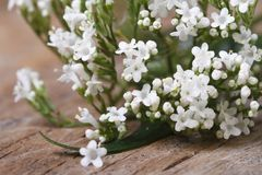 White flowers Valeriana officinalis macro horizontal Royalty Free Stock Image