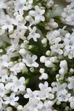 White flowers Valeriana officinalis macro. Stock Photo