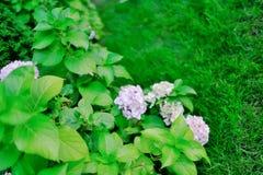 White flowers of viburnum Royalty Free Stock Image