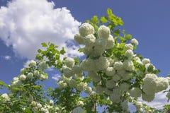 White flowers viburnum buldenezh decorative. royalty free stock images