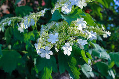 White flowers viburnum. Bunch white flowers viburnum with green foliage Royalty Free Stock Images