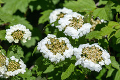 White flowers Viburnum opulus Royalty Free Stock Image
