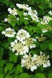 White flowers of the viburnum Stock Photos