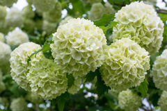 White flowers of viburnum snow ball in spring garden. Royalty Free Stock Photography