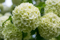 White flowers of viburnum snow ball in spring garden. Royalty Free Stock Photo