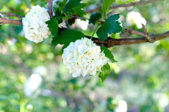 White flowers viburnum. In spring garden Royalty Free Stock Images
