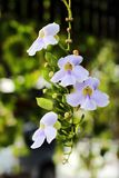 Flowers vine white purple with bushy beautiful on soft and blur background royalty free stock photos