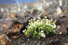 White flowers on Volcano Royalty Free Stock Images