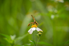 White flowers with Wasps Stock Image