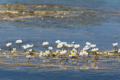 White flowers in water Stock Photography