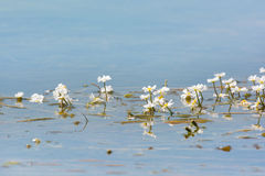 White flowers in water Royalty Free Stock Photography