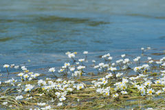 White flowers in water Royalty Free Stock Images