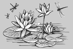 White flowers of a water lily. And dragonfly on a gray background vector sketch royalty free illustration