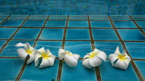 White flowers in water at swimming pool. Full Hd Stock Footage Clip stock footage