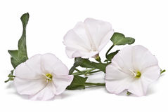 White flowers on white background. Stock Photo