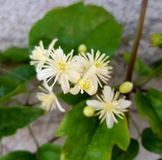 White flowers. Stone leaf  floral royalty free stock images