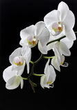 White flowers of white orchid on a black background. Branch with flowers of white orchid Phalaenopsis on a black background Royalty Free Stock Image