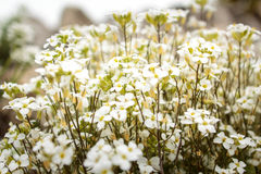 White Flowers. Whiteflowers, in Vasile Fati Botanical Garden Jibou, Salaj county, Romania Stock Image